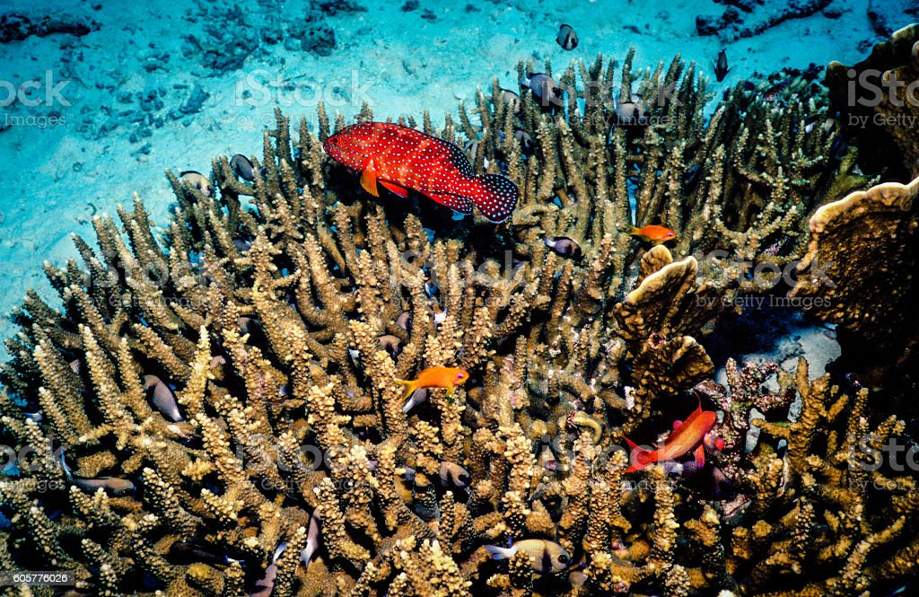 Thailand Jewel Grouper (Coral Trout) over Hard Coral - Thailand royalty-free stock photo