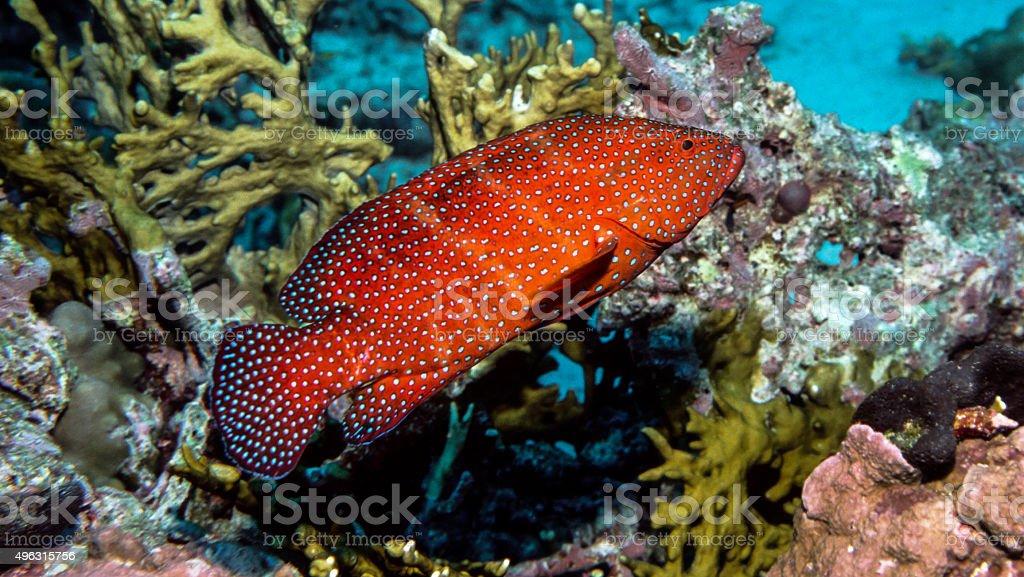 Thailand Jewel Grouper (Coral Trout) Portrait - Thailand royalty-free stock photo