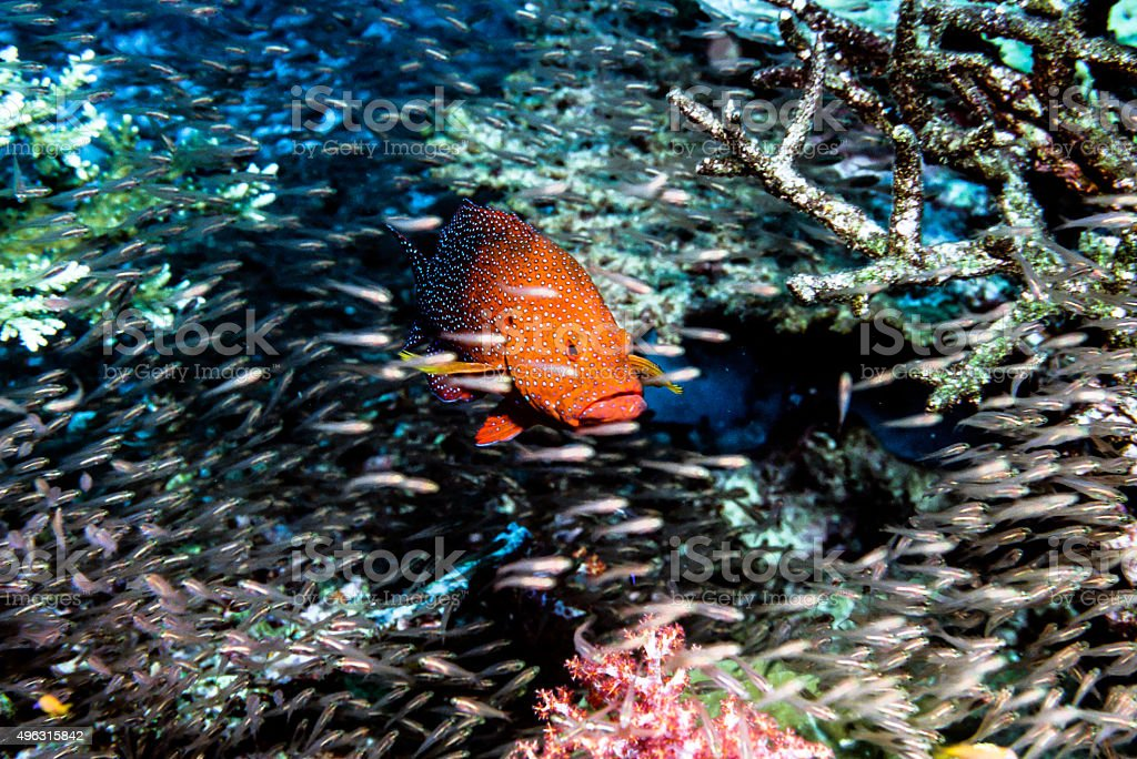 Thailand Jewel Grouper (Coral Trout) surrounded - Thailand royalty-free stock photo
