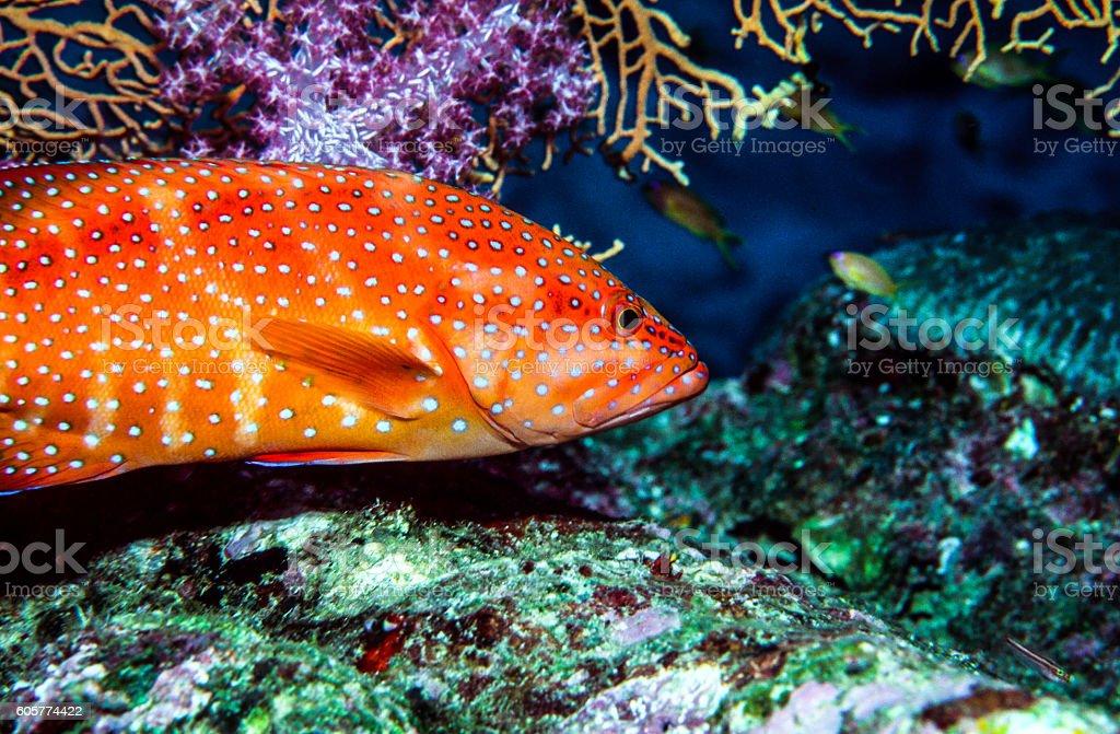 Thailand Jewel Grouper (Coral Trout) - Thailand (Closeup Profile stock photo