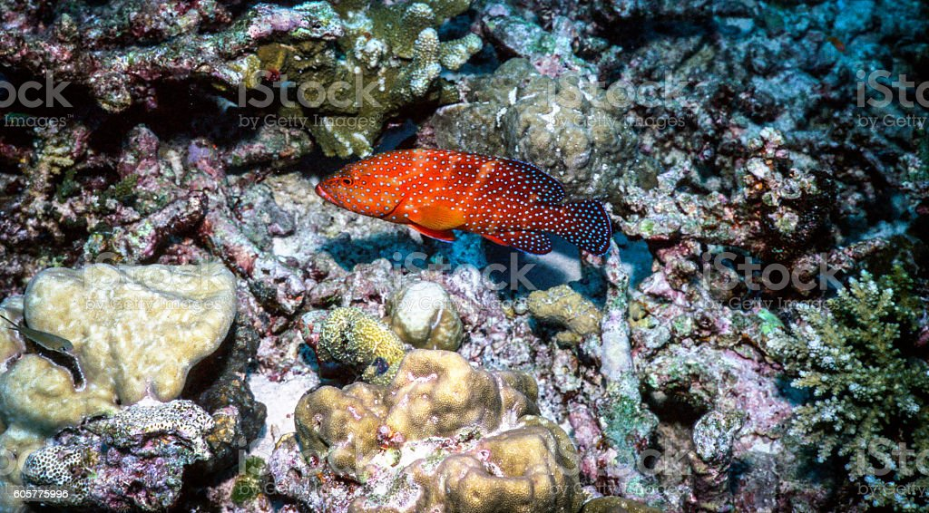 Thailand Jewel Grouper (Coral Trout) - Thailand (Left Side) royalty-free stock photo