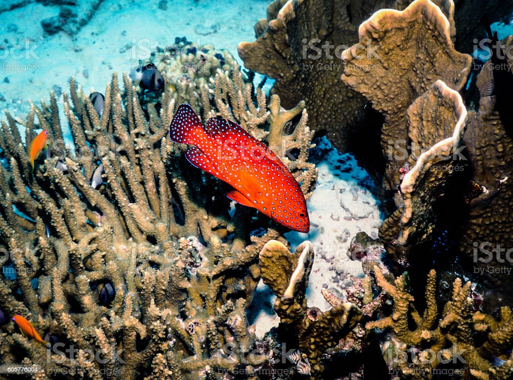 Thailand Jewel Grouper (Coral Trout) - Thailand (Right Side) royalty-free stock photo