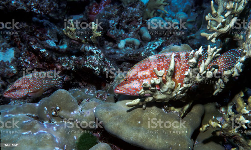 Thailand Jewel Grouper (Coral Trout) waiting for cleaning - Thailand royalty-free stock photo