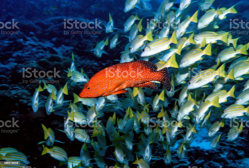 Thailand Jewel Grouper (Coral Trout) with Bluestripe Snapper - Thailand stock photo