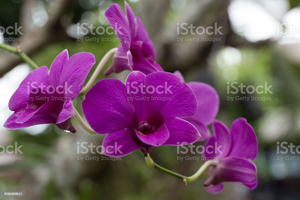 Thailand orchid. stock photo