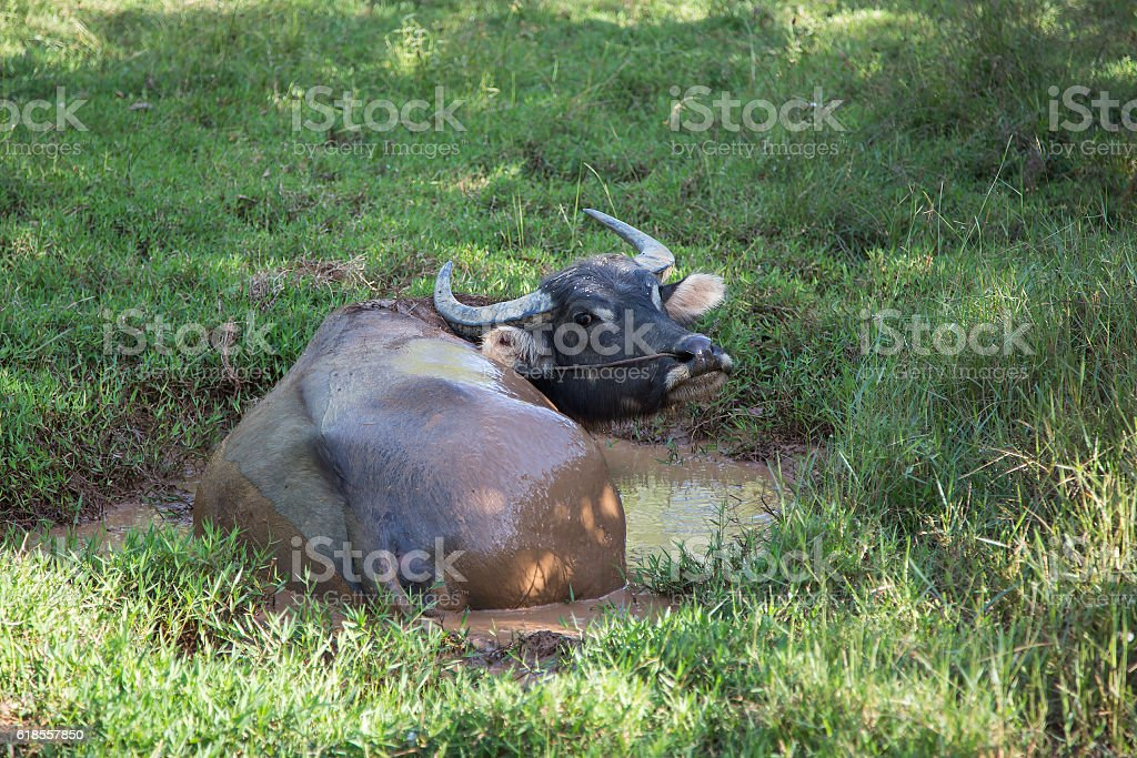 Thailand Sleeping Buffalo Swamp stock photo