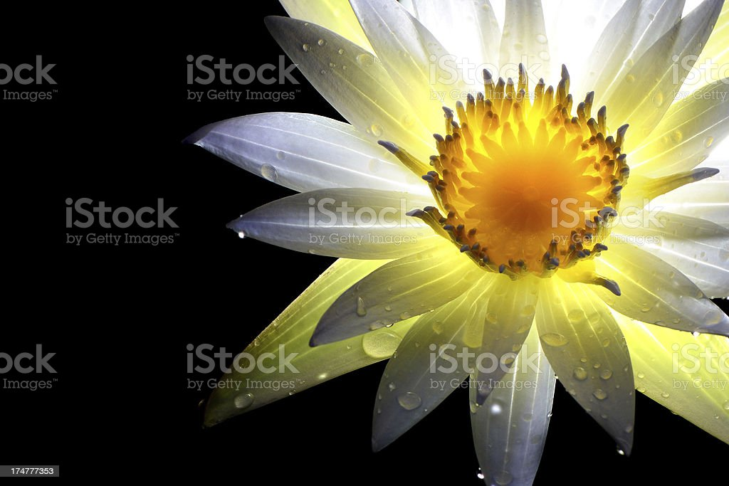 Thailand, White Thai Lotus with drop of Water royalty-free stock photo