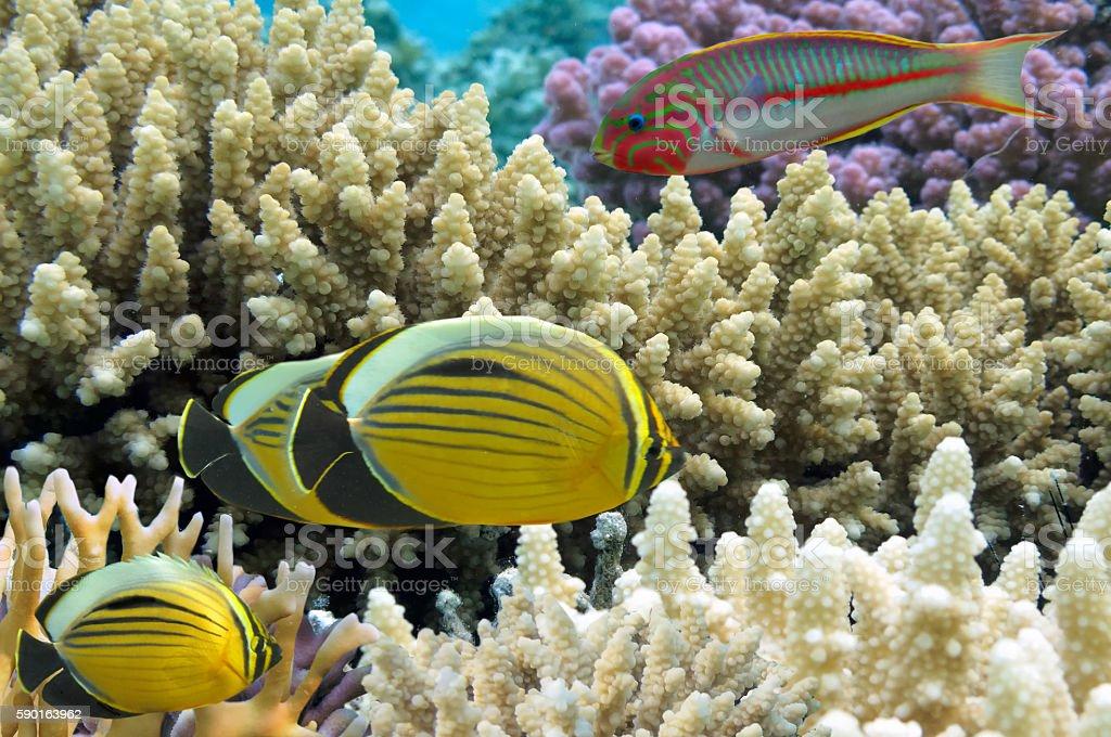 Thalassoma Klunzingeri and Polyp Butterflyfish stock photo