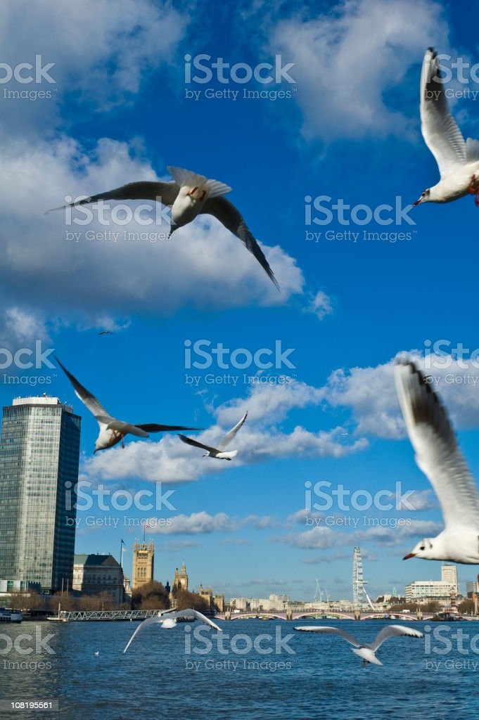 Thames gulls Westminster stock photo