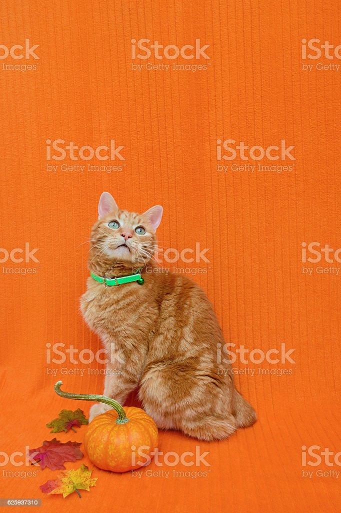 Thanksgiving Cat stock photo