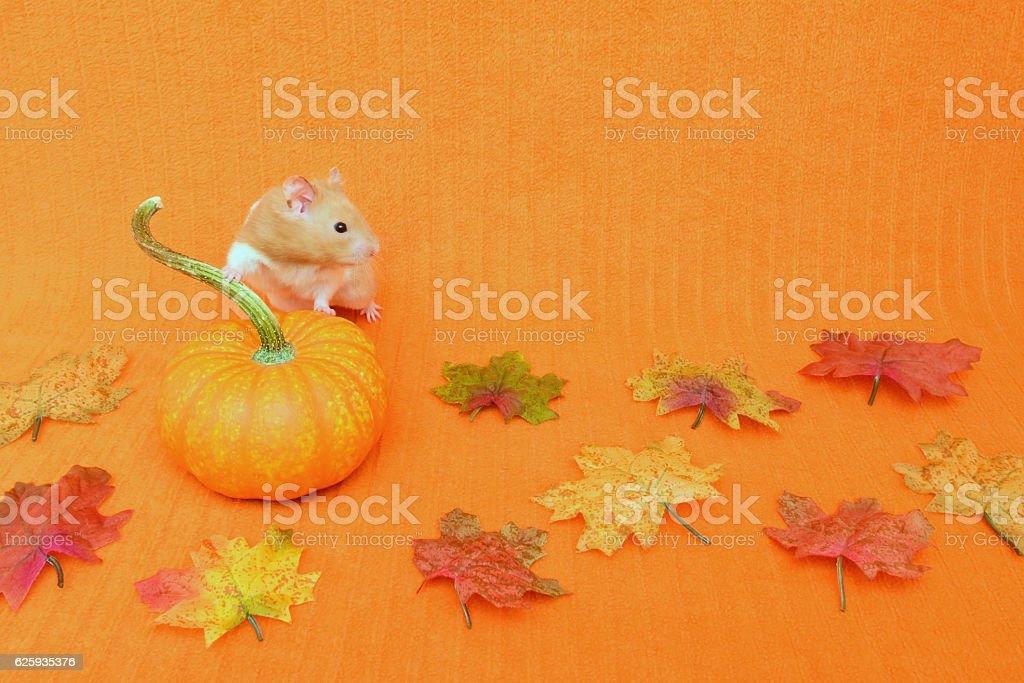 Thanksgiving Golden Hamster stock photo