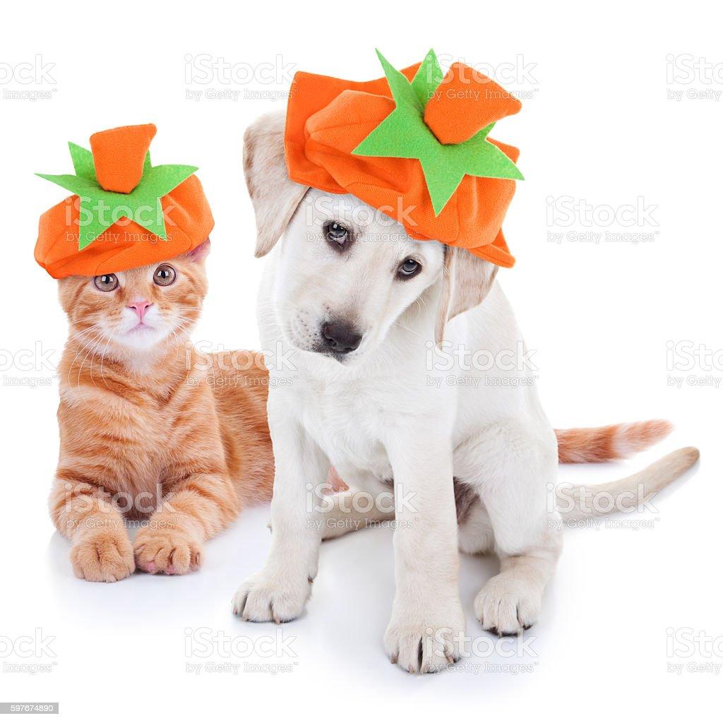Thanksgiving Halloween Pumpkin Costume Pets Dog and Cat stock photo