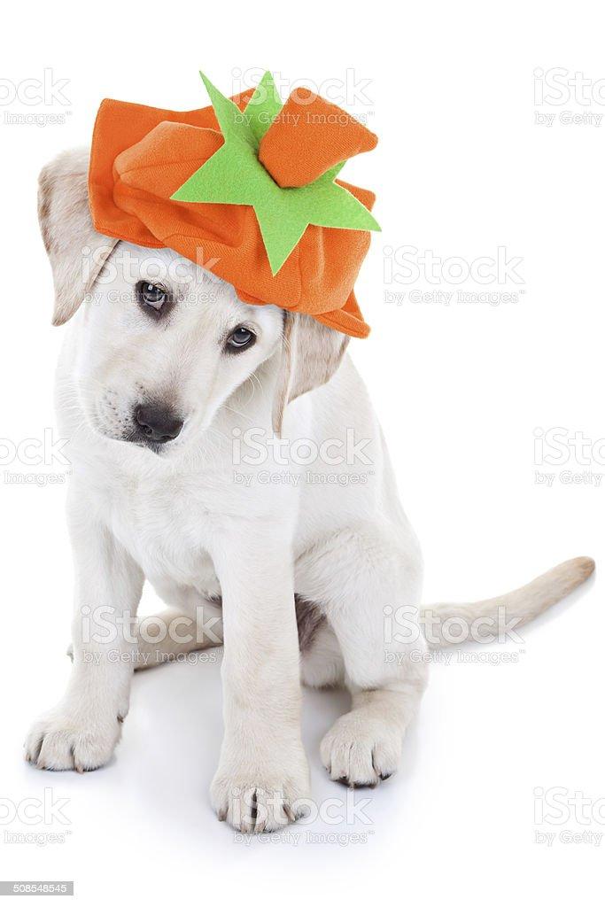 Thanksgiving Pumpkin Dog stock photo