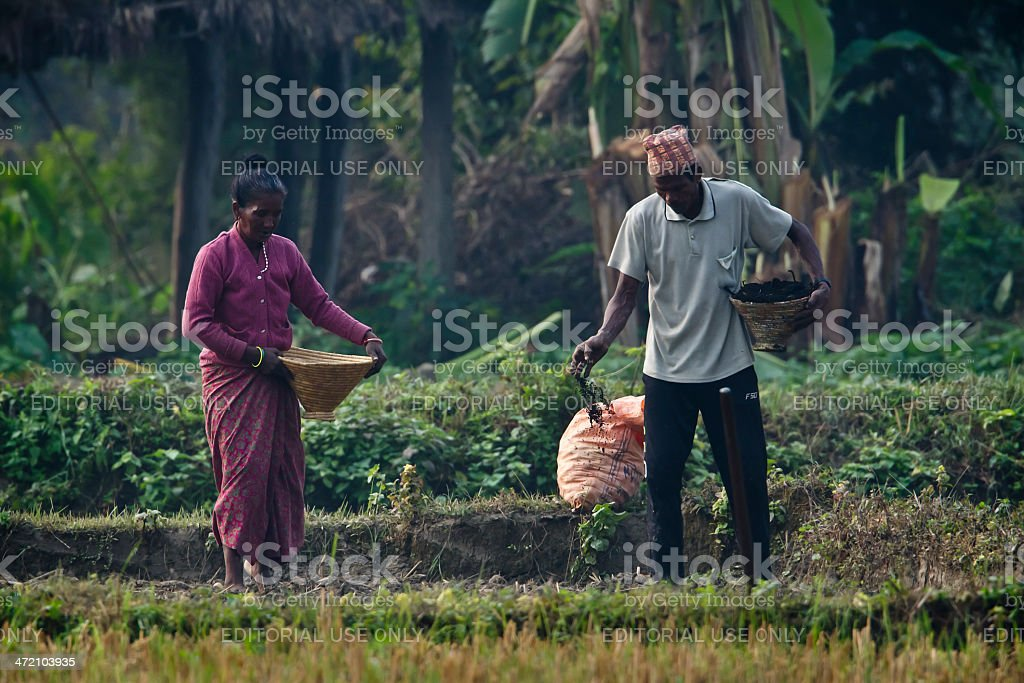 Tharu man and woman strewing seeds in fields stock photo