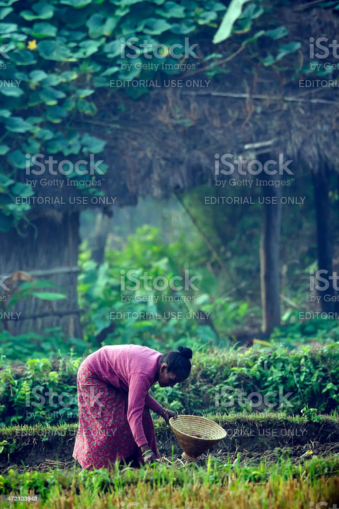 Tharu woman strewing seeds in fields stock photo