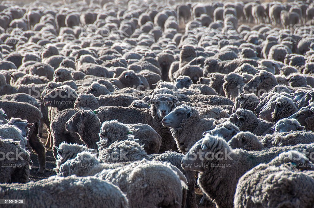 That is a lot of sheeps, Tierra del Fuego, Argentina stock photo