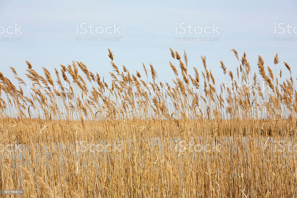 Thatch landscape at Lake Velence in Hungary stock photo