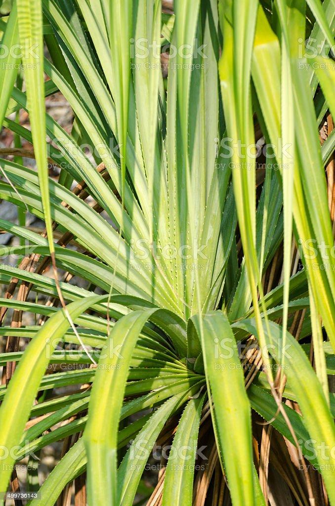 thatch scewpine  Pandanus tectorius stock photo