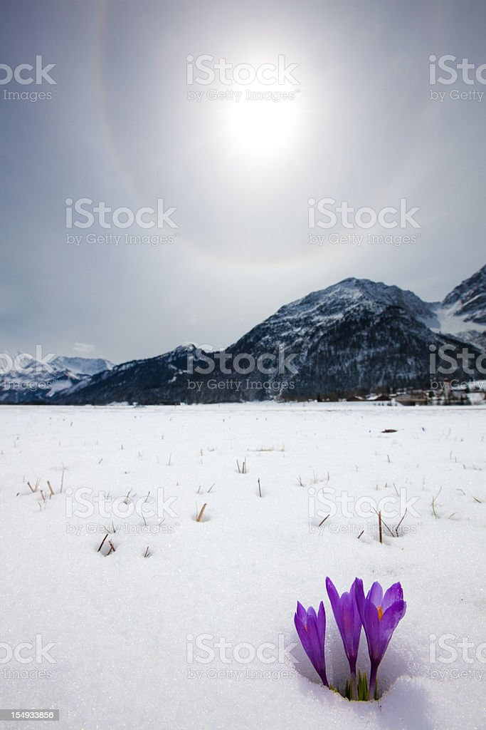 thawing snow and upcoming crocus in spring, tirol, austria stock photo