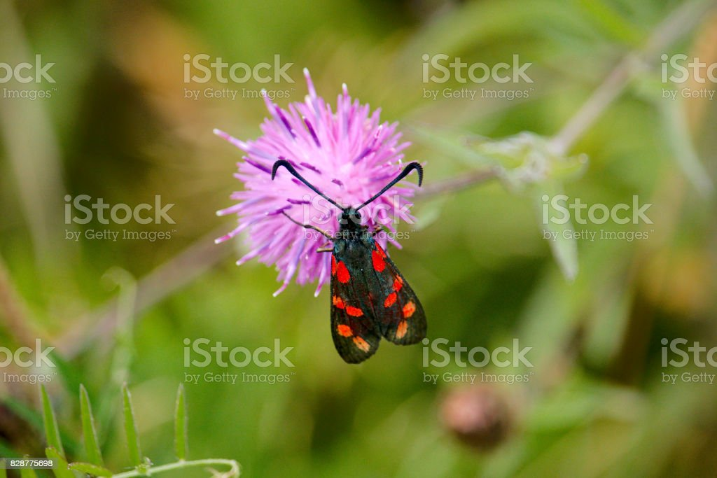 The 5 spot or 6 spot burnet (Zygaena trifolii) at rest on a thistle. stock photo