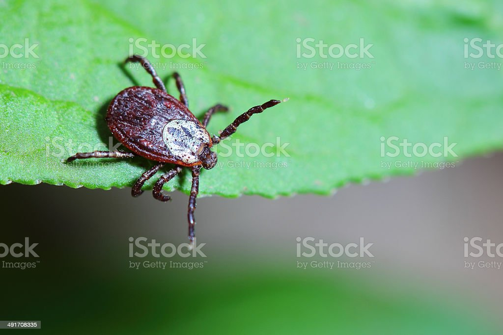 The acarus sits on a green leaf in the forest stock photo