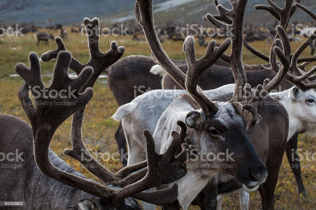 The accumulation of antlers in the herd. stock photo