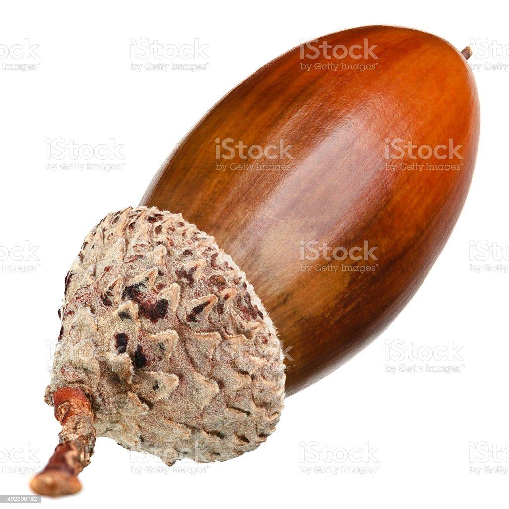 The acorn stock photo