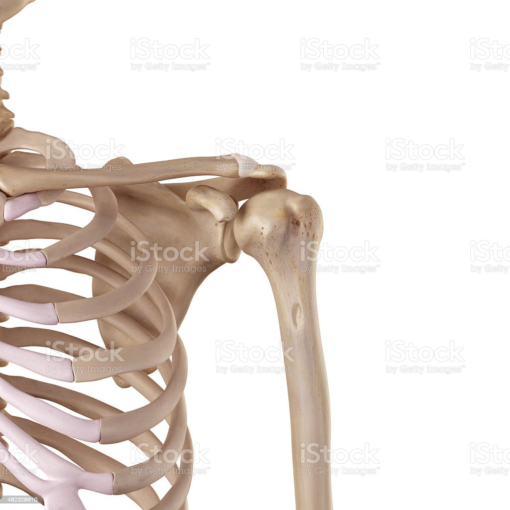 The acromioclavicular ligament stock photo