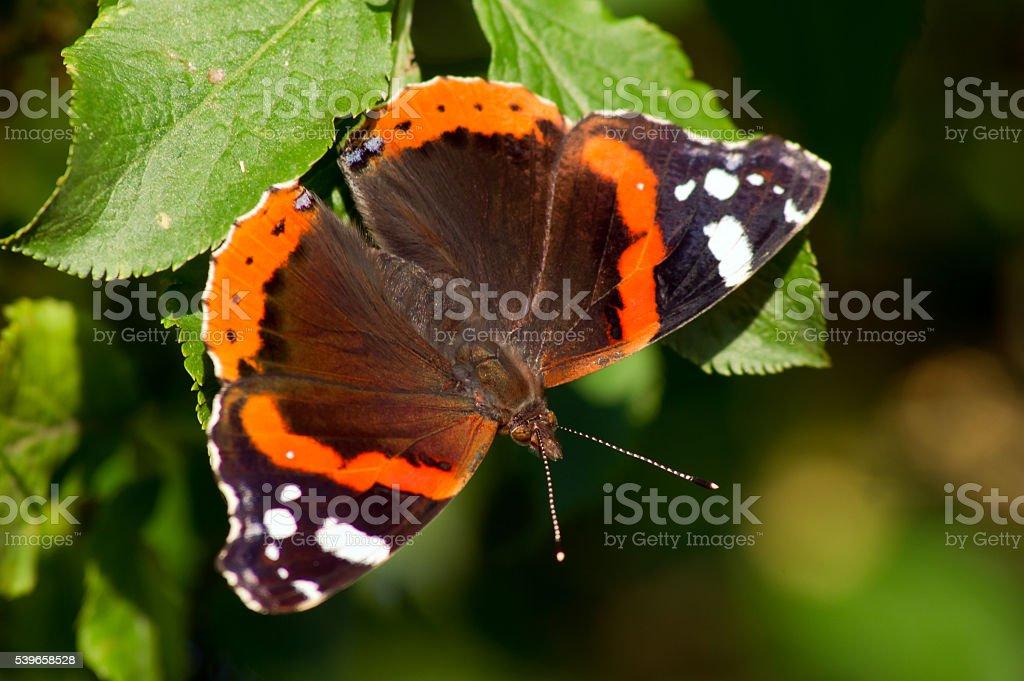 The admiral butterfly (Vanessa Atalanta) stock photo
