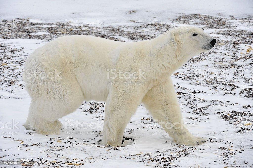 The adult male polar bear (Ursus maritimus) stock photo