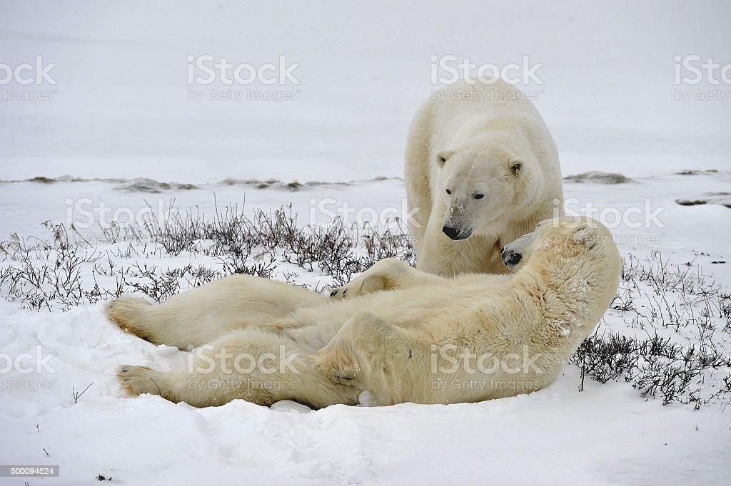 The adult male polar bears (Ursus maritimus) stock photo