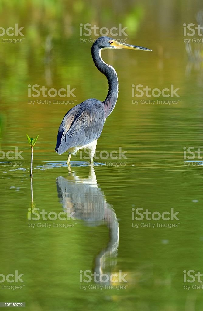 The adult tricolored heron (Egretta tricolor). Green natural background. Cuba stock photo