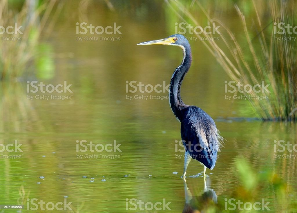 The adult tricolored heron stock photo