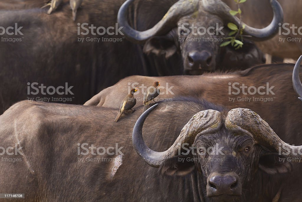 The African buffalo and birds mint stock photo