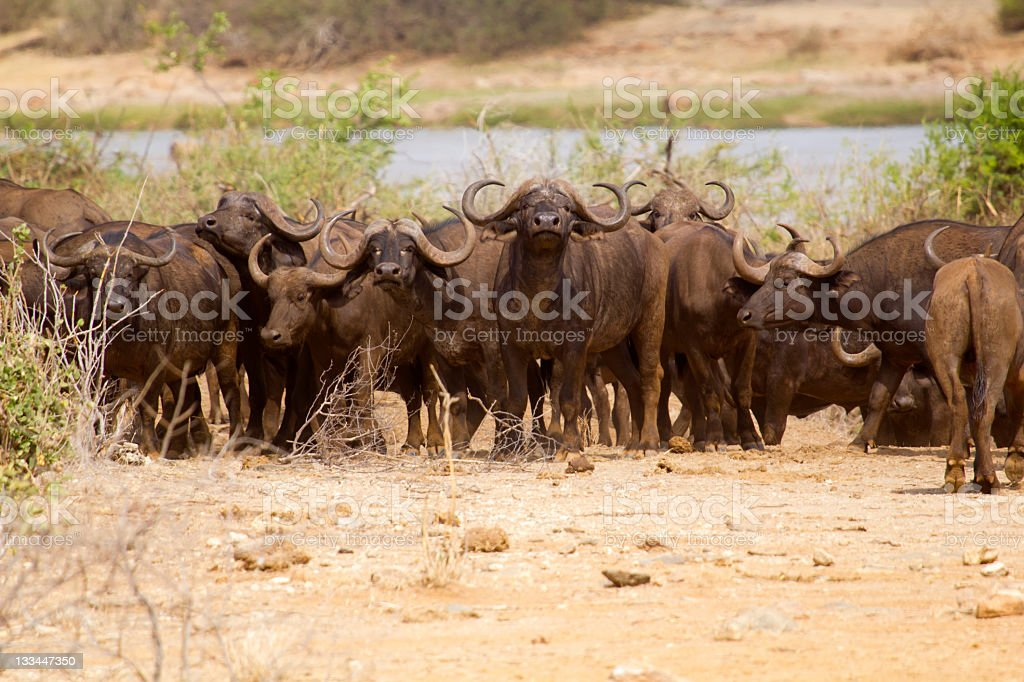 The African buffalo stock photo