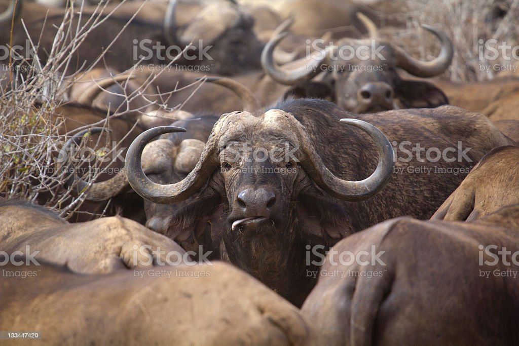 The African buffalo stock photo