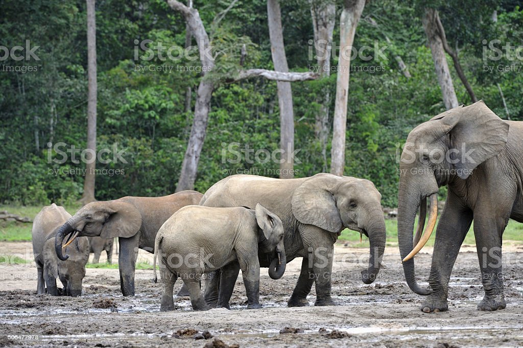 The African Forest Elephants stock photo