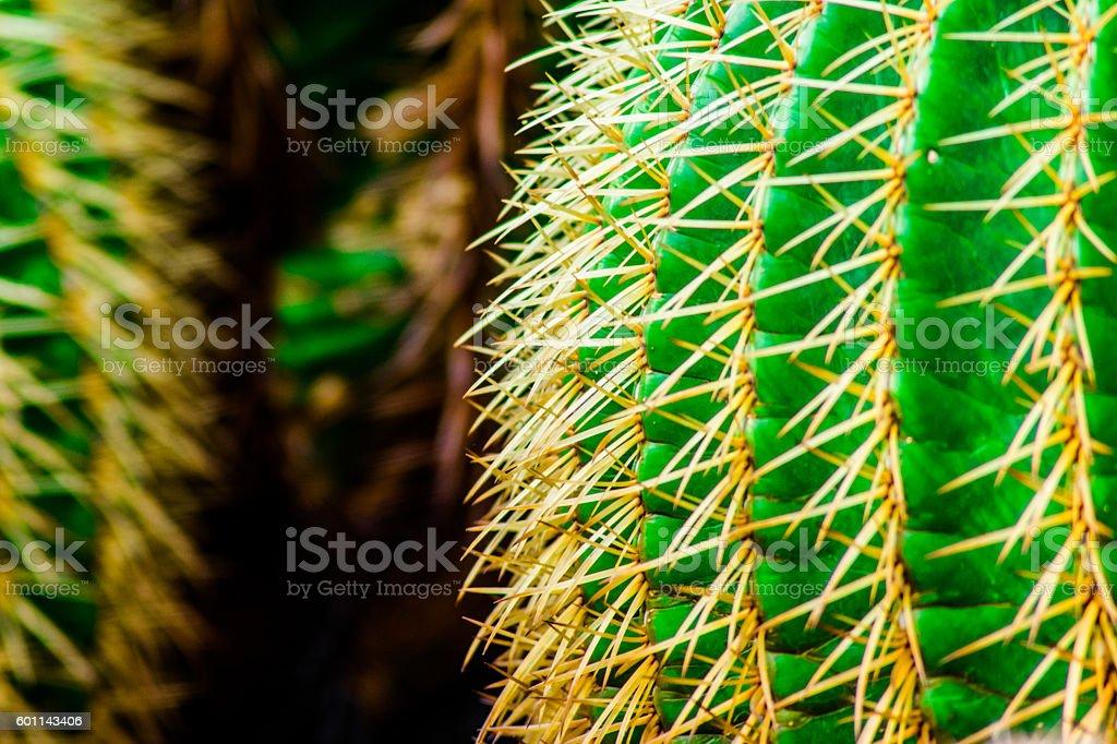 The African hoodia cactus stock photo