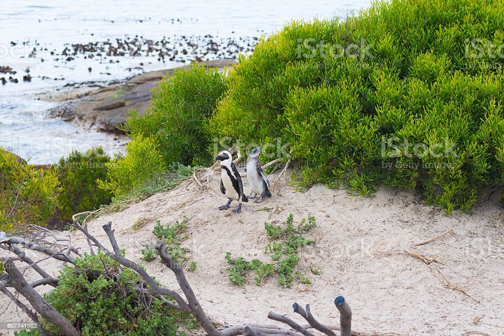 The African Penguin colony on Cape Peninsula, South Africa stock photo
