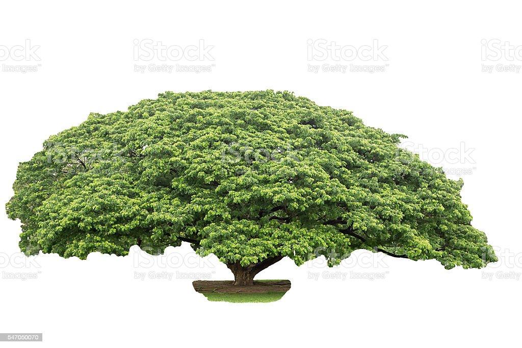 The albizia saman tree isolated on white background. stock photo