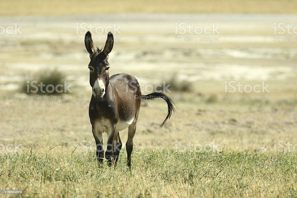 The alone donkey royalty-free stock photo