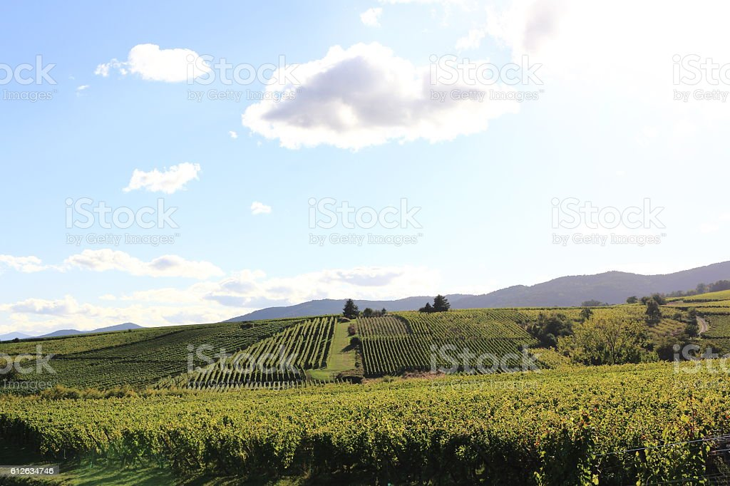The Alsatian vineyard stock photo