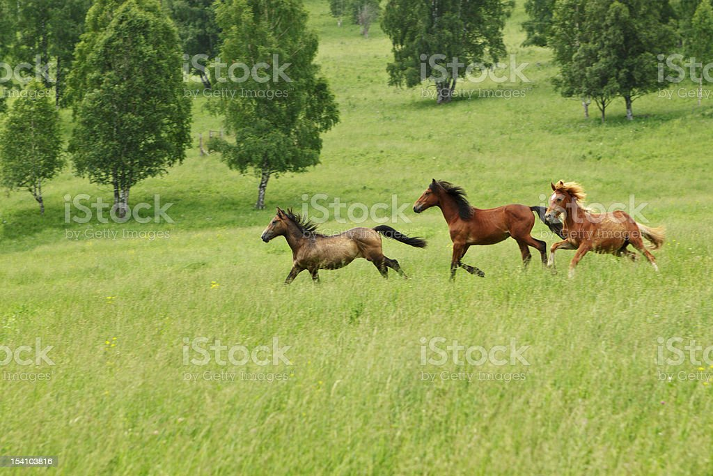 The Altay's meadow running horses on it stock photo