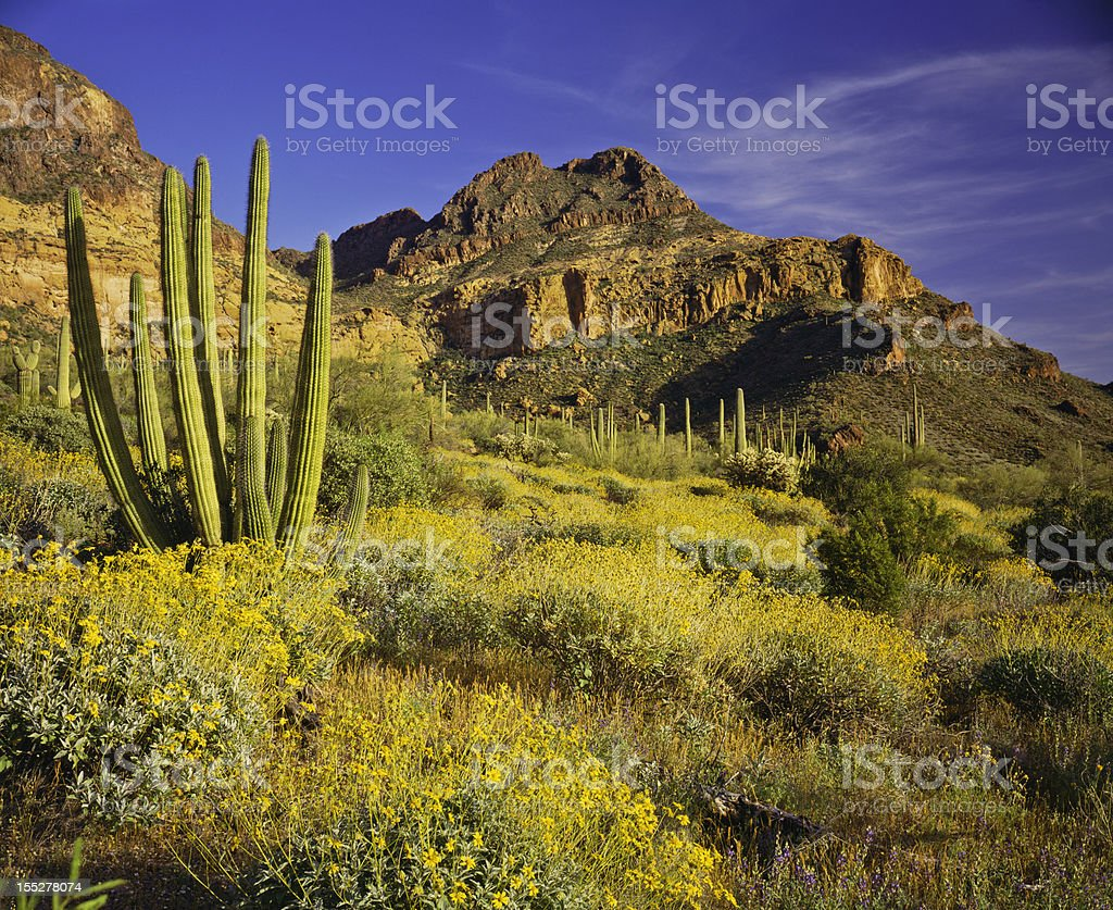 The amazing national monument Organ pipe cactus royalty-free stock photo