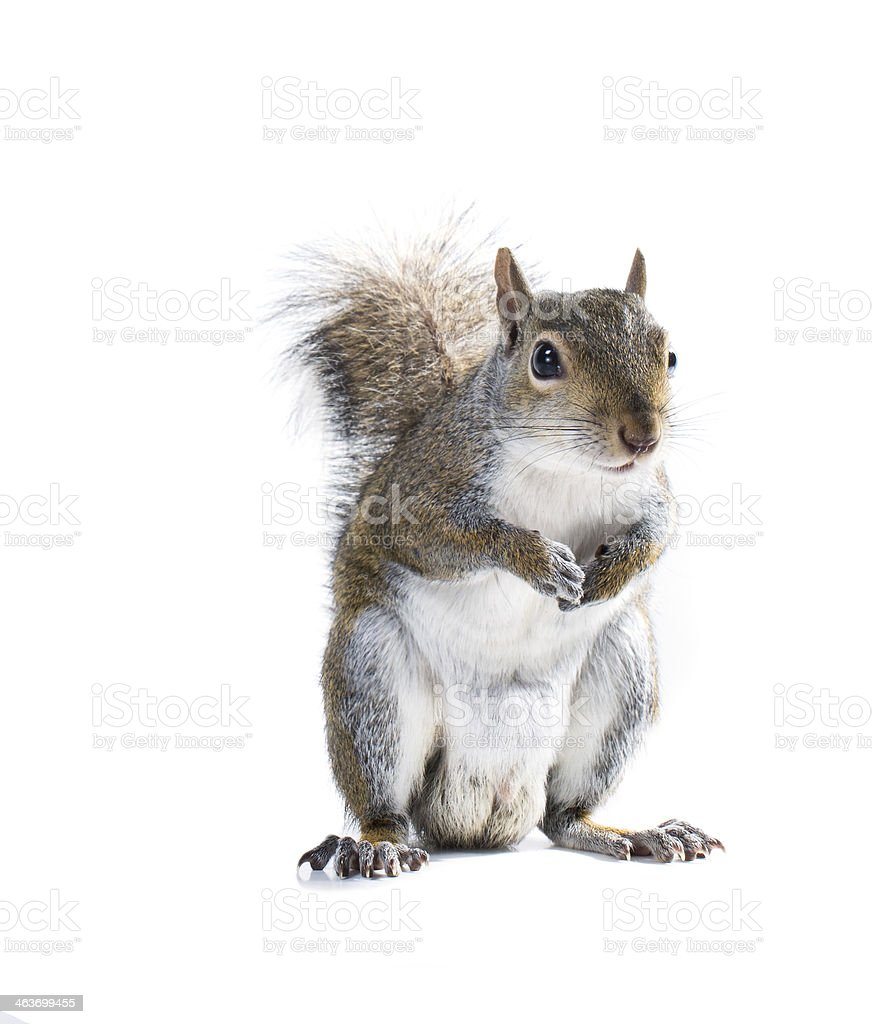 The American gray squirrel is holding legs to his chest stock photo