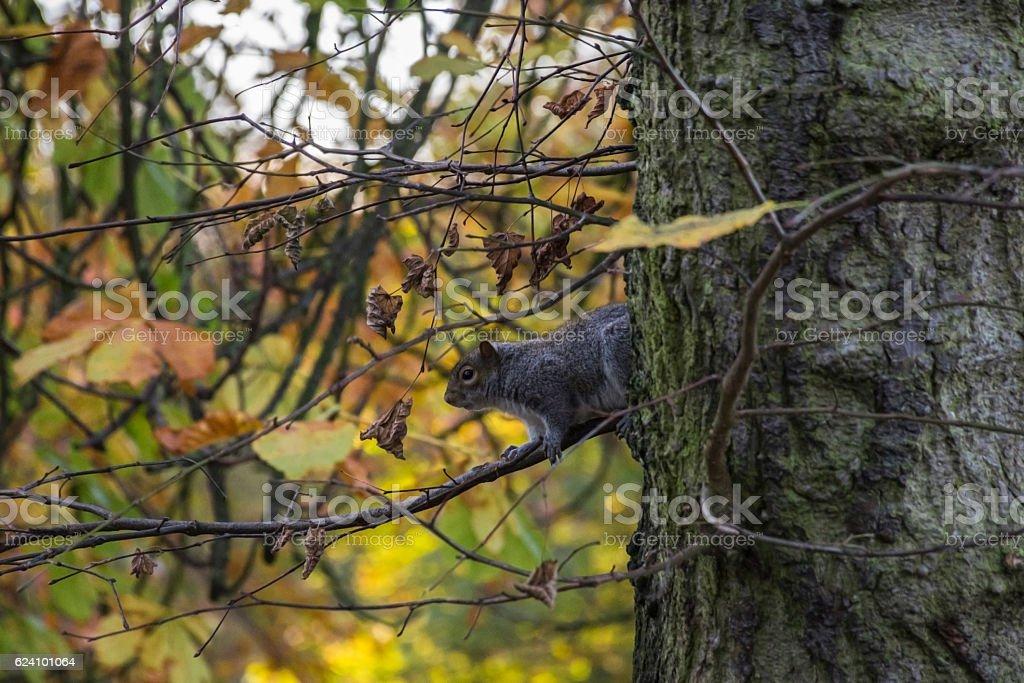 The American gray squirrel stock photo