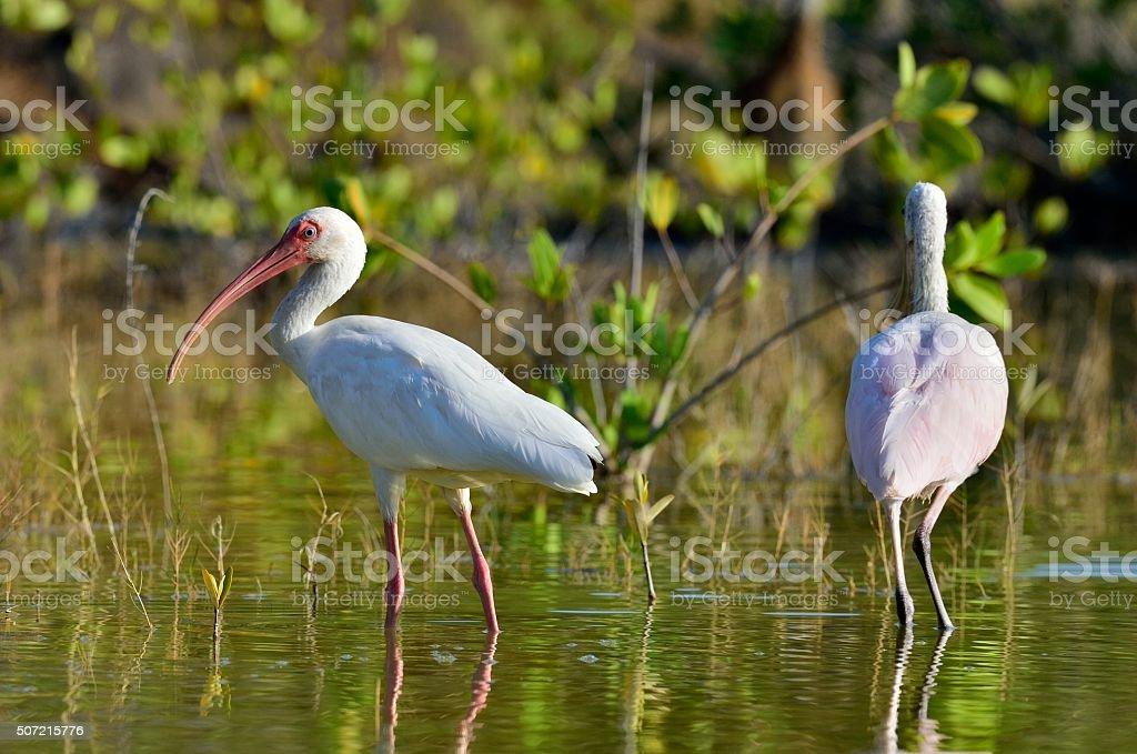 The American white ibis stock photo