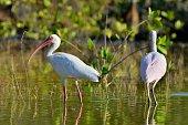 The American white ibis
