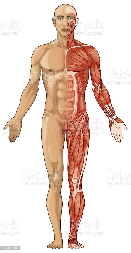 The anatomy of the human body including skin and muscles royalty-free stock photo