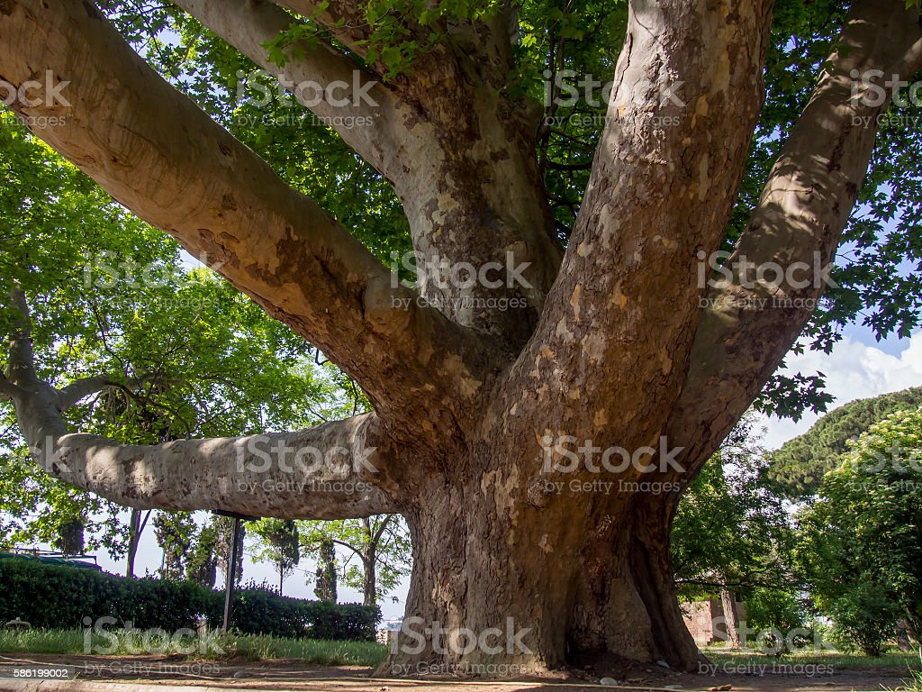 The ancient 150 year-old platan in the park stock photo